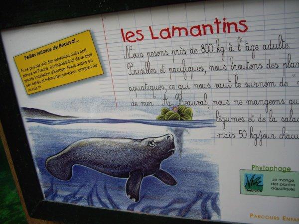LAMANTIN DES CARAIBES