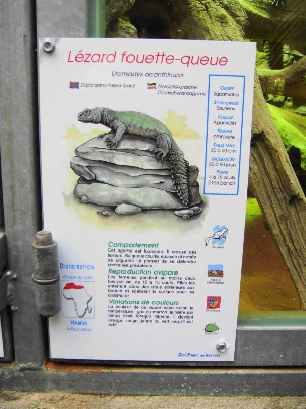 LEZARD FOUETTE QUEUE