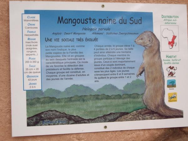 MANGOUSTE NAINE