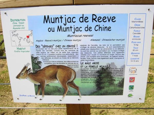 MUNTJAC DE CHINE