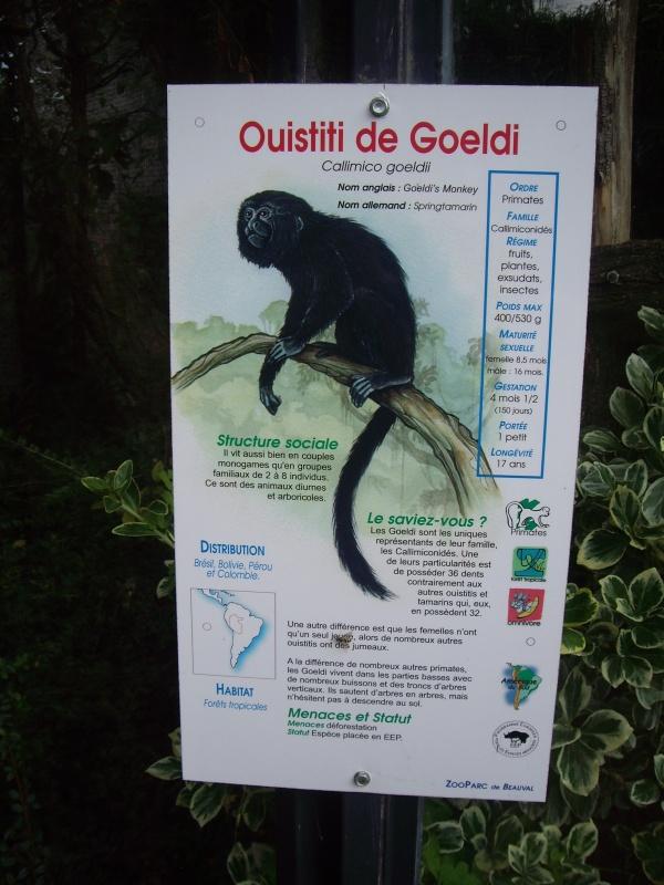 OUISTITI DE GOELDI