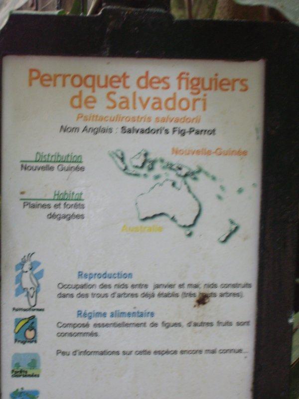 PERROQUET DES FIGUIERS DE SALVADORI