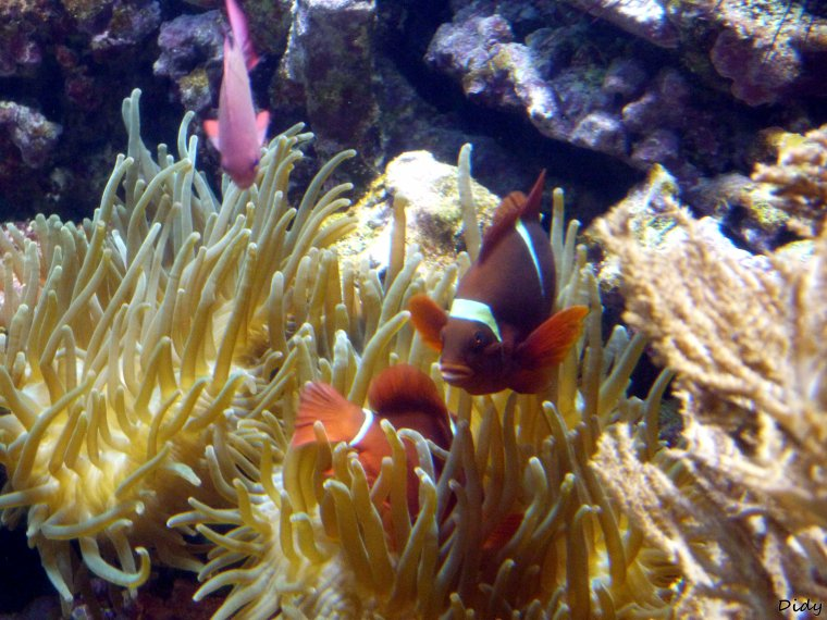 POISSON CLOWN EPINEUX