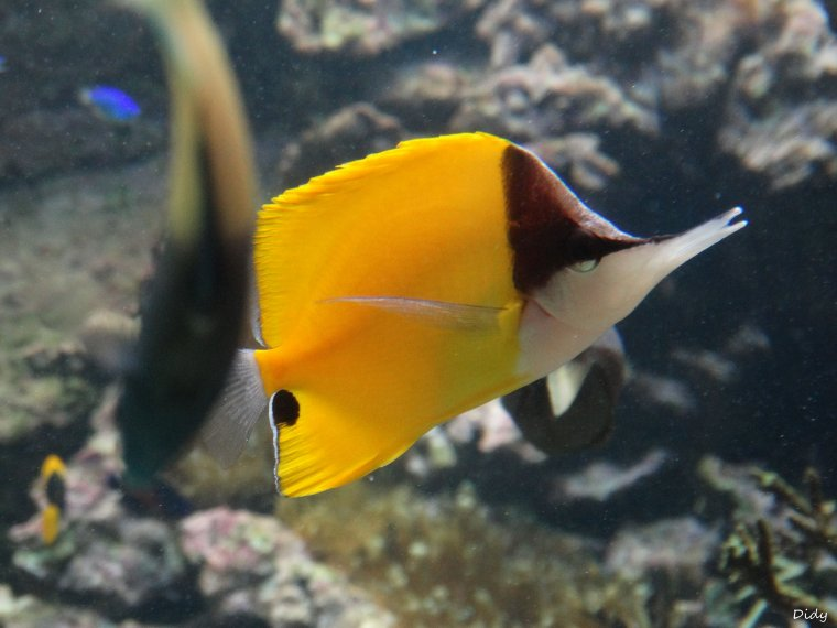 POISSON PAPILLON PINCETTE A LONG BEC