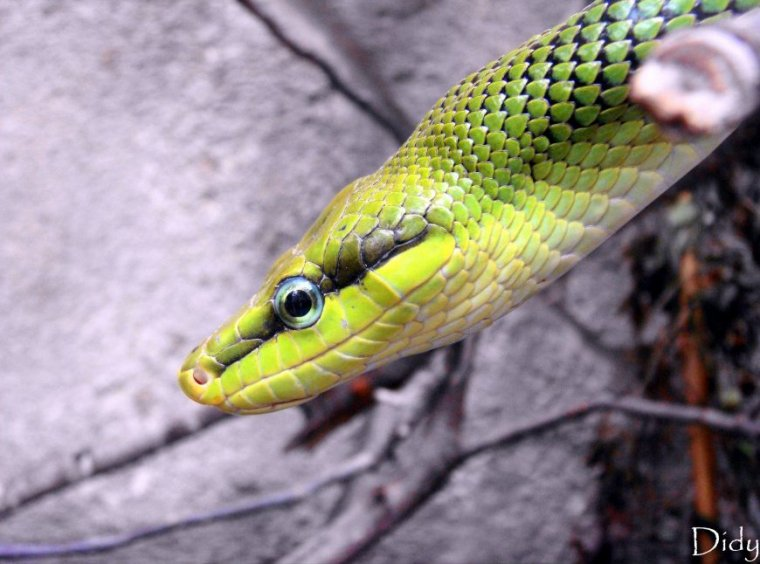 SERPENT RATIER VERT A QUEUE ROUGE