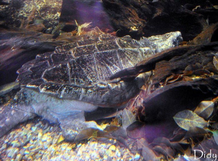 TORTUE ALLIGATOR