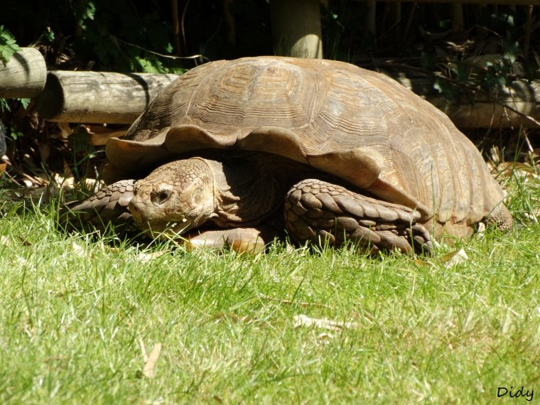 TORTUE A EPERONS
