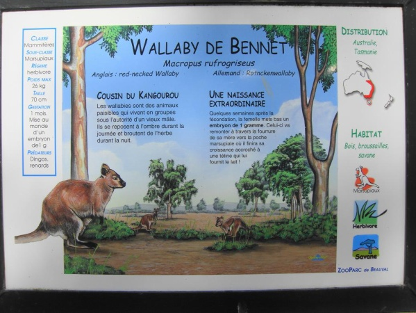 WALLABY DE BENNET