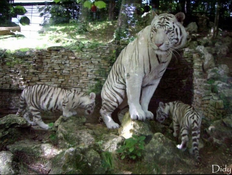 TIGRE BLANC - portée de 2008 (4 bébés)