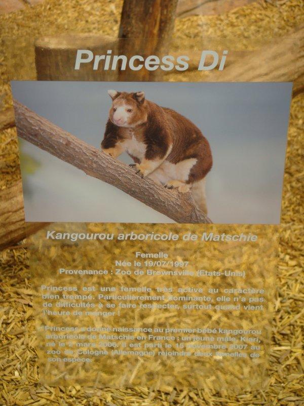 DENDROLAGUE DE MATSCHIE ou KANGOUROU ARBORICOLE