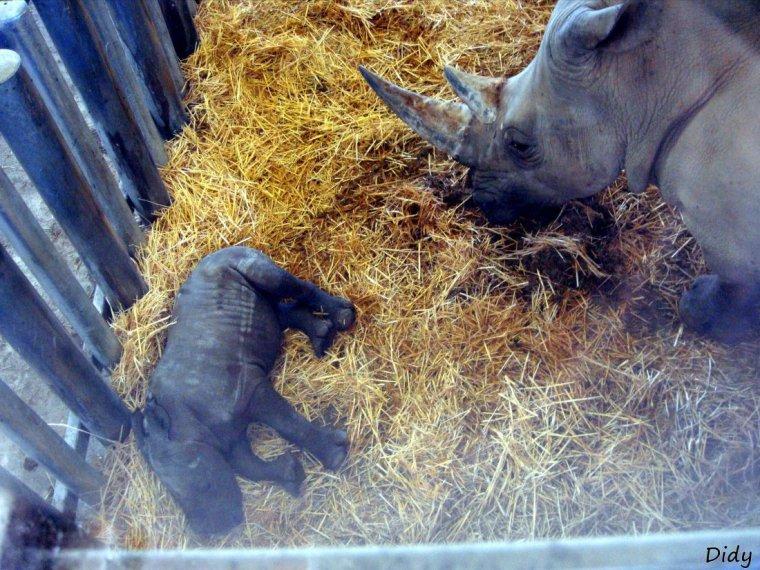 RHINOCEROS BLANC - WAMI né le 16 octobre 2011