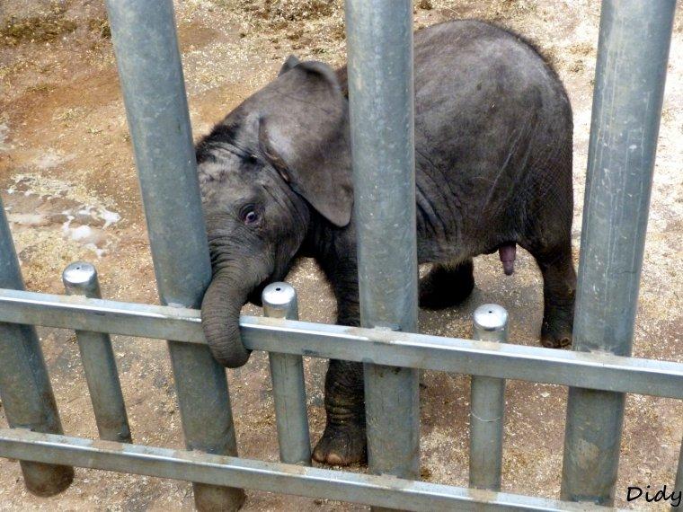 ELEPHANT D'AFRIQUE - RUNGWE né le 20 07 2012