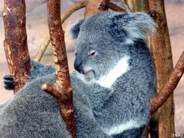 KOALA DU QUEENSLAND - Les adultes