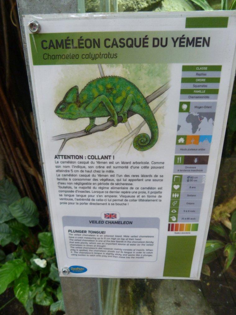 CAMELEON CASQUE DU YEMEN