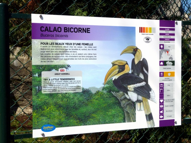 CALAO BICORNE