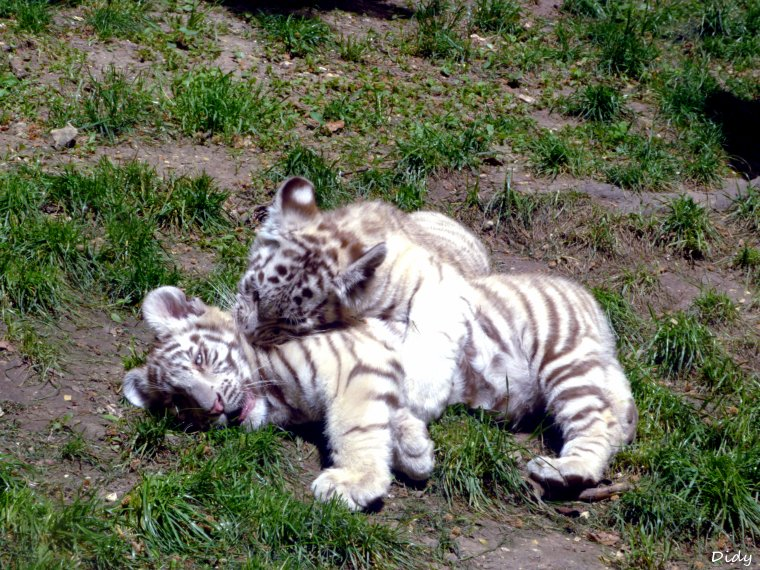 TIGRE BLANC - portée de 2013 (4 bébés)
