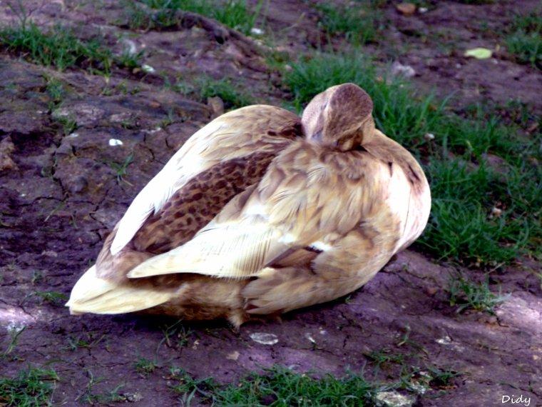 canards, espèces inconnus