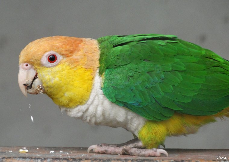 CAIQUE A VENTRE BLANC