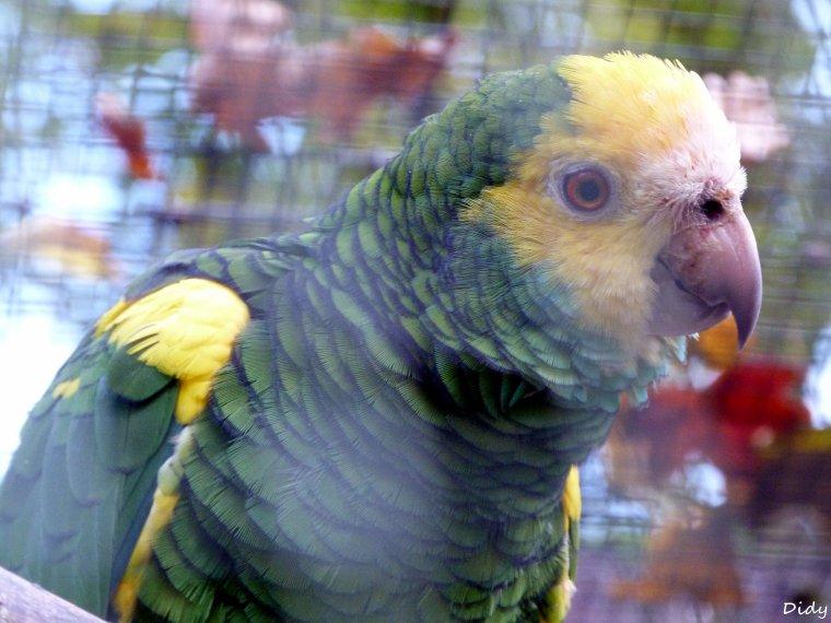AMAZONE A EPAULETTES JAUNES