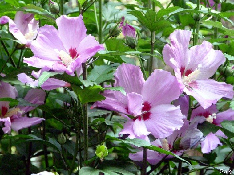 La flore des allées de Beauval - Juillet  AOUT 2013 (suite)