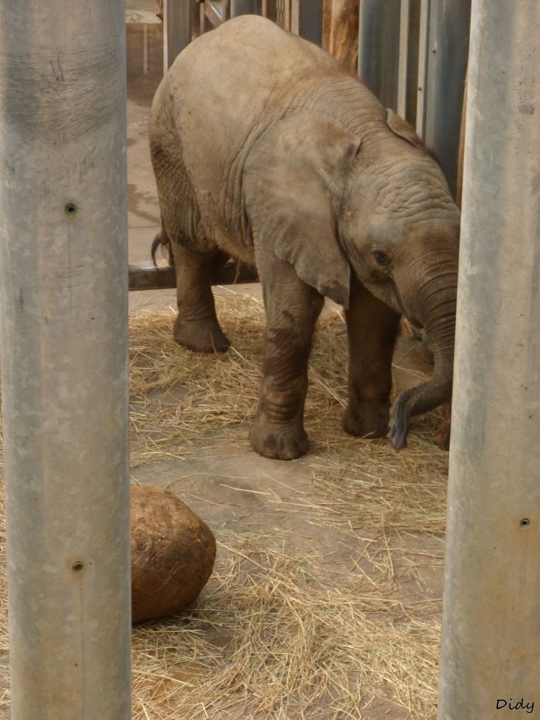 ELEPHANT D'AFRIQUE