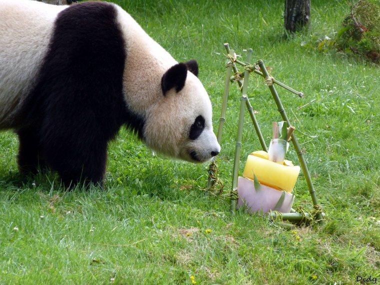 10 août 2013 - anniversaire de Huan Huan (femelle panda géant) = 5 ans !