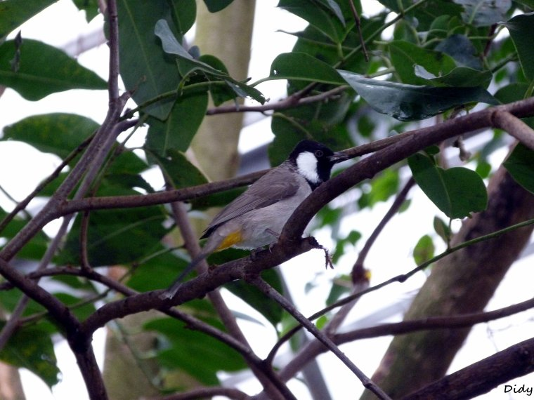 BULBUL A JOUES BLANCHES
