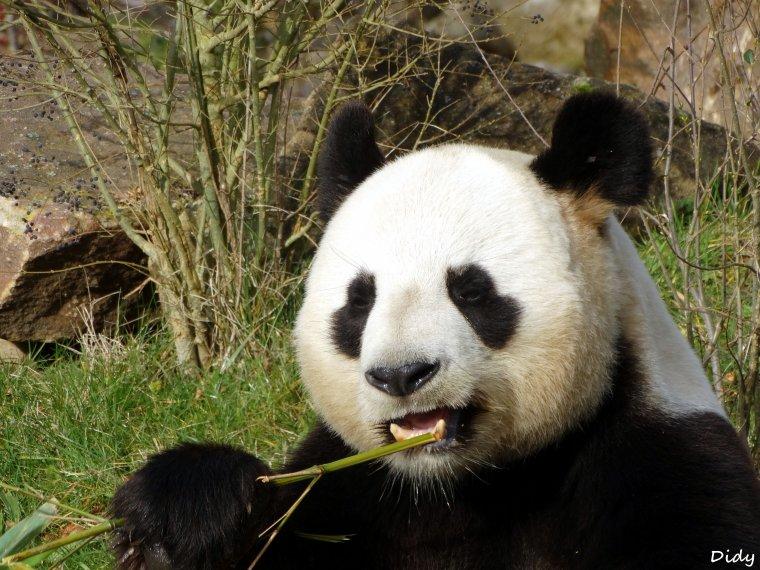 PANDA GEANT - Yuan Zi le mâle