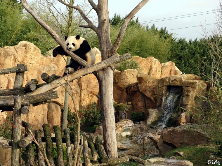PANDA GEANT - Huan Huan la femelle