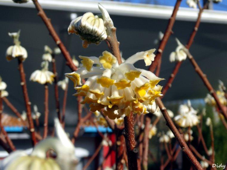 La flore des allées de Beauval - Hiver 2014 (suite)