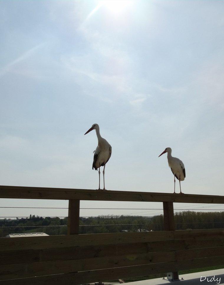 """nouveau spectacle d'oiseaux 2014 """"les maîtres des airs"""", 1ère représentation le 12 avril 2014 suite 6"""