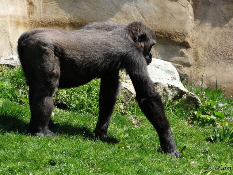 Depuis juillet 2013 : Une toute nouvelle installation : la deuxième île à gorilles !