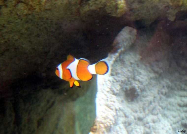 POISSON CLOWN A 3 BANDES