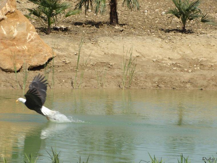 """nouveau spectacle d'oiseaux 2014 """"les maîtres des airs"""", le 04 Mai 2014 suite 3"""