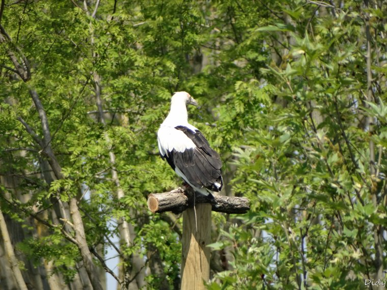 """nouveau spectacle d'oiseaux 2014 """"les maîtres des airs"""", le 04 Mai 2014 suite 4"""