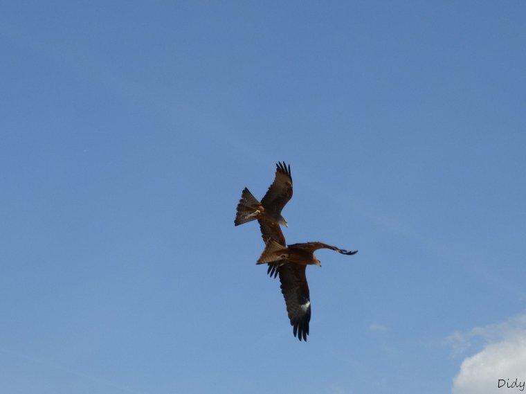 """nouveau spectacle d'oiseaux 2014 """"les maîtres des airs"""", le 04 Mai 2014 suite 6"""