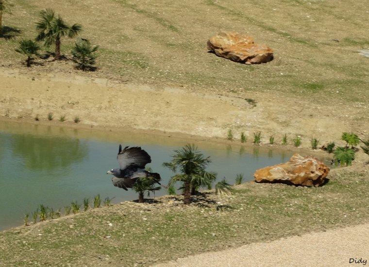 """nouveau spectacle d'oiseaux 2014 """"les maîtres des airs"""",le 15 Mai 2014 suite 3"""