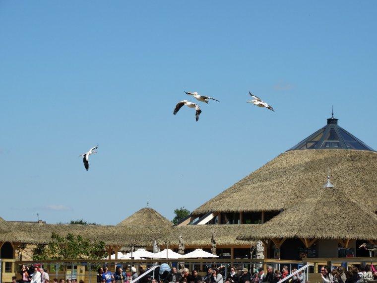 """nouveau spectacle d'oiseaux 2014 """"les maîtres des airs"""",le 15 Mai 2014 suite 6"""