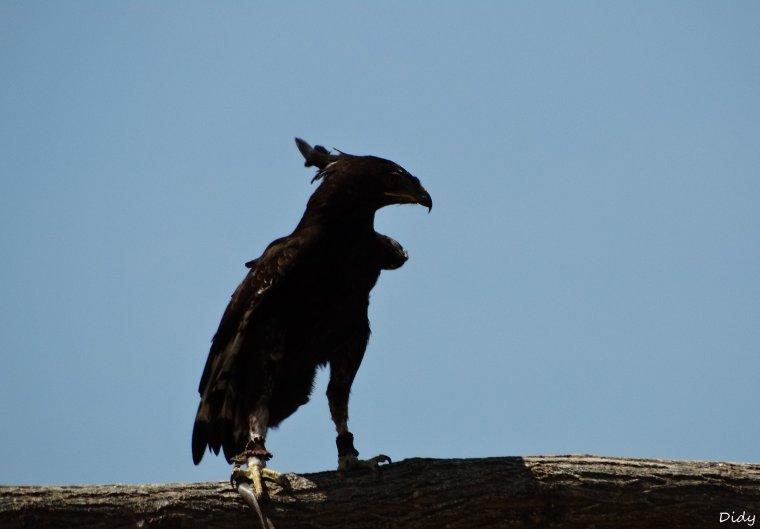"""nouveau spectacle d'oiseaux 2014 """"les maîtres des airs"""", le 06 Juin 2014"""