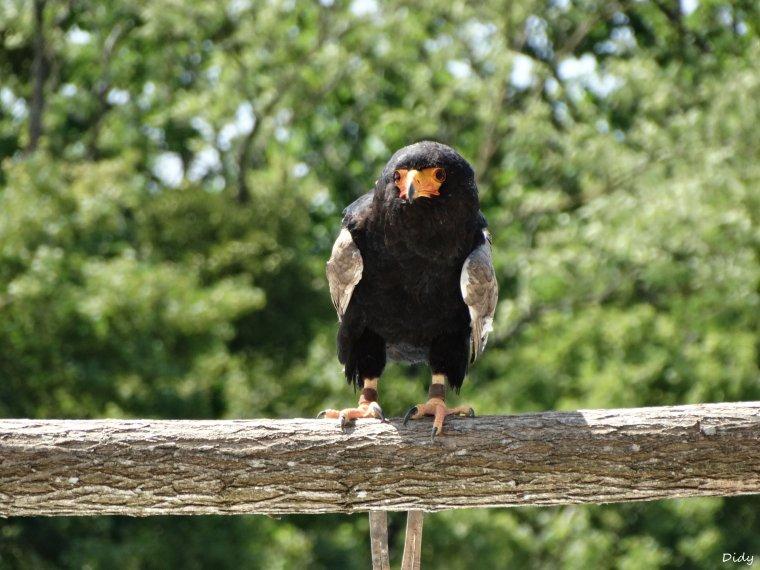 """nouveau spectacle d'oiseaux 2014 """"les maîtres des airs"""", le 06 Juin 2014 suite 2"""
