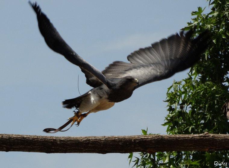 """nouveau spectacle d'oiseaux 2014 """"les maîtres des airs"""", le 06 Juin 2014 suite 3"""
