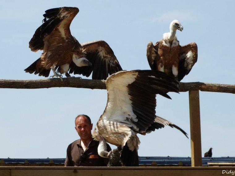 """nouveau spectacle d'oiseaux 2014 """"les maîtres des airs"""", le 06 Juin 2014 suite 6"""