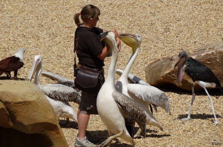 """nouveau spectacle d'oiseaux 2014 """"les maîtres des airs"""", le 06 Juin 2014 suite 10"""