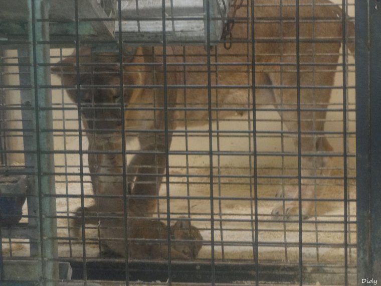 LION JAUNE D'AFRIQUE