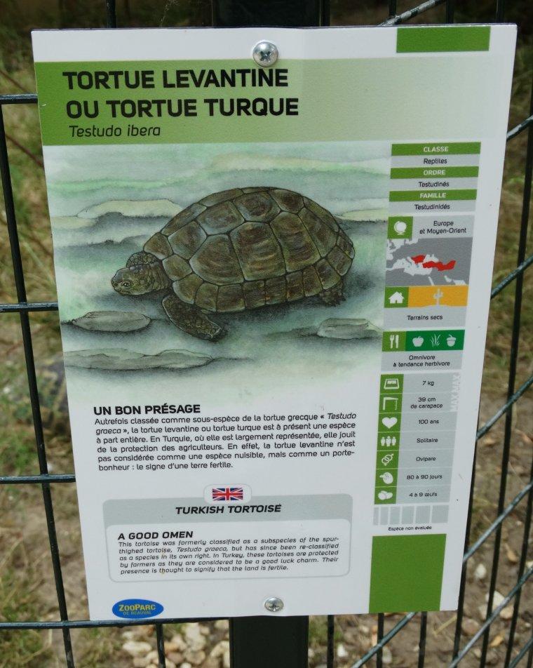 TORTUE TURQUE OU LEVANTINE