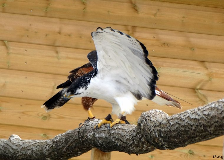 """nouveau spectacle d'oiseaux 2014 """"les maîtres des airs"""", le 26 Juin 2014 suite 2"""