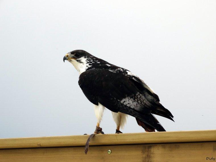 """nouveau spectacle d'oiseaux 2014 """"les maîtres des airs"""", le 26 Juin 2014 suite 3"""