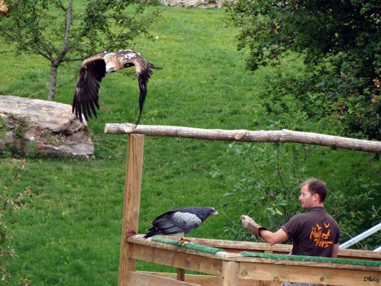"""nouveau spectacle d'oiseaux 2014 """"les maîtres des airs"""", le 26 Juin 2014 suite 4"""