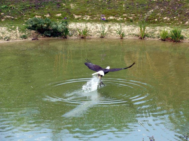 """nouveau spectacle d'oiseaux 2014 """"les maîtres des airs"""", le 26 Juin 2014 suite 5"""