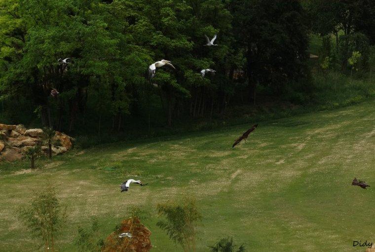 """nouveau spectacle d'oiseaux 2014 """"les maîtres des airs"""", le 26 Juin 2014 suite 7"""